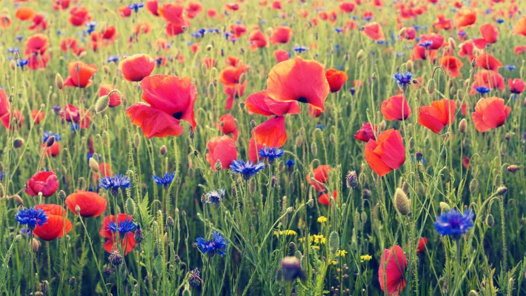 Services - Adults - Attention & ADHD: image of a poppy field