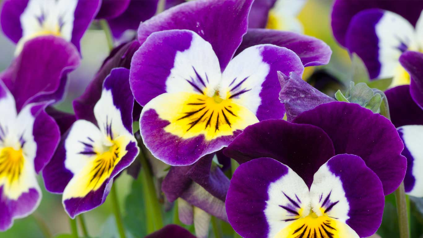 Services - Adults - Challenging Relationships: closeup image of purple and yellow flowers