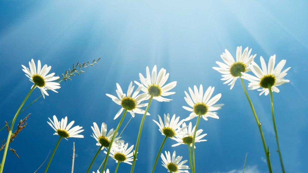 Services - Adults - Difficult Habits & Repetitive Behaviours: image of daisies against a blue sky