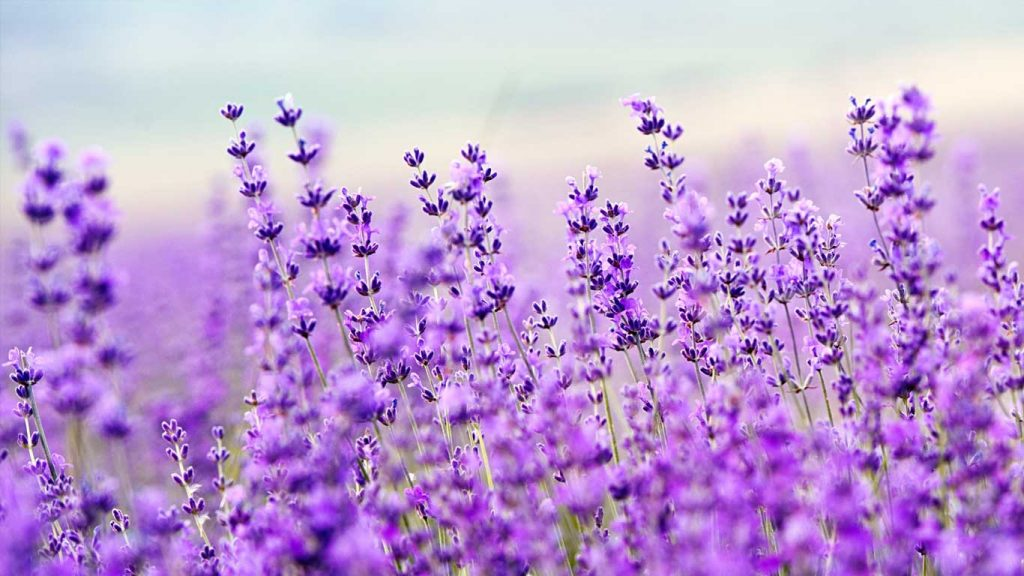 Services - Adults - Insomnia: image of purple flowers in a field
