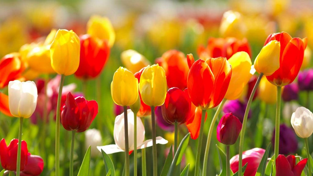 Services - Adults - Learning Difficulties & Psycho-Educational Assessments: closeup image of red, yellow, purple and white tulips