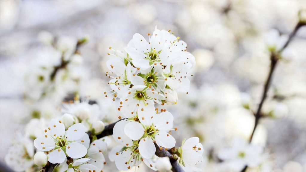 Services - Adults - Sadness, Loss & Depression: closeup image of white flowers