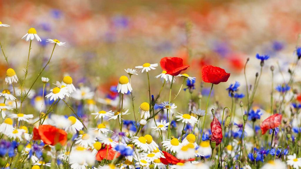Adults - Services - Stress & Anxiety: image of bright coloured wildflowers in a field