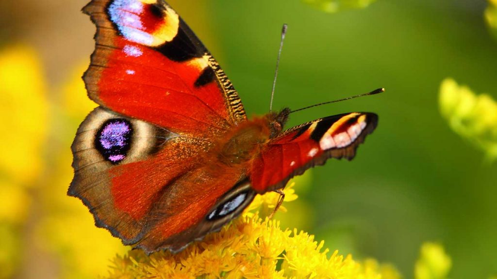 Services - Children & Teens - Anger, Tantrums & Acting Out: closeup image of a red butterfly on a yellow flower