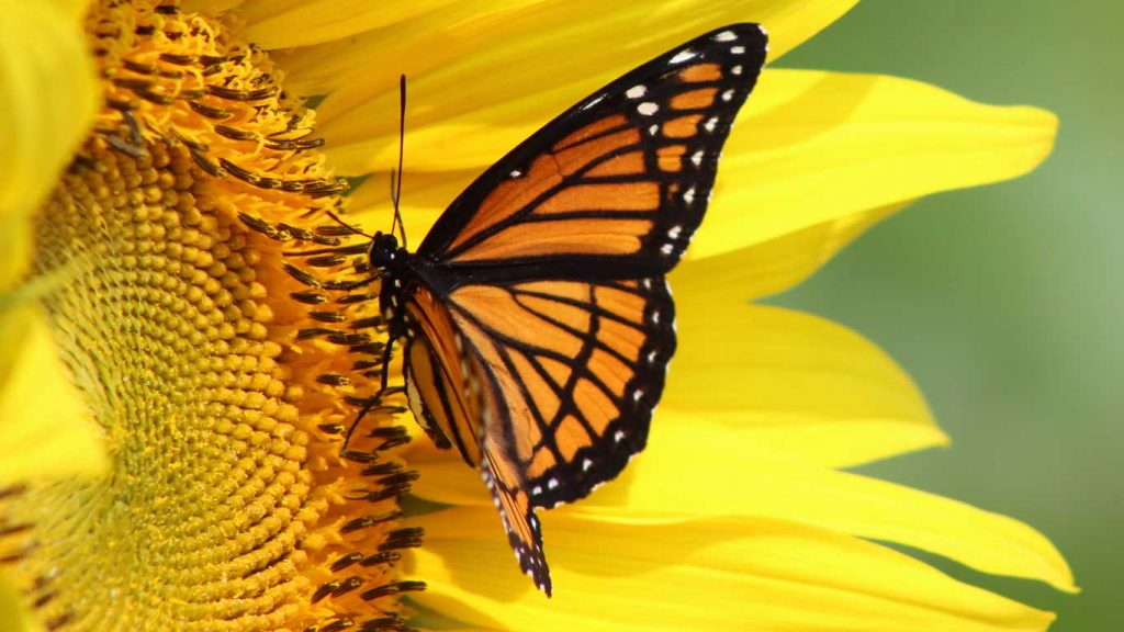 Services - Children & Teens - Sadness, Loss, & Depression: closeup image of a monarch butterfly on a sunflower
