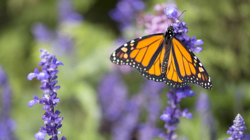First Session - Children & Teens: closeup image of a monarch butterfly on purple flowers